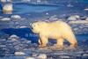 Polar Bear, Ursus maritimus, Hudson Bay Area Near Churchill, Manitoba, Canada
