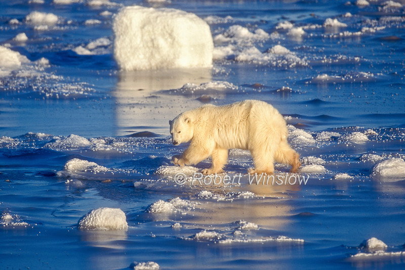 Polar Bear (Ursus maritimus) on Frozen Tidal Flats, Hudson Bay Near Churchill, Manitoba, Canada