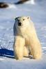 Polar Bear (Ursus maritimus), Hudson Bay Area Near Churchill, Manitoba, Canada