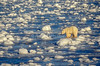Polar Bear (Ursus maritimus) on Frozen Tidal Flats of Hudson Bay Near Churchill, Manitoba, Canada