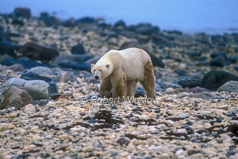Polar Bear (Ursus maritimus), No Snow or Ice,  Coastal Area of Hudson Bay Near Churchill, Manitoba, Canada