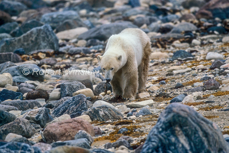 Polar Bear, Ursus maritimus, Eating Seaweed,  No Snow or Ice,  Coastal Area of Hudson Bay Near Churchill, Manitoba, Canada