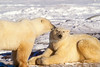 Two Polar Bears, (Ursus maritimus), Near Churchill, Manitoba, Canada