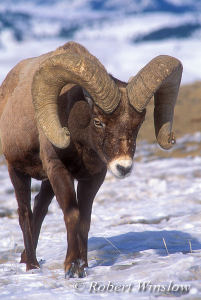 Bighorn Sheep Ram (Ovis canadensis), Winter, Yellowstone National Park, Montana