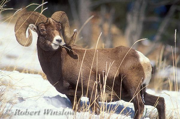 Bighorn Sheep Ram (Ovis canadensis), Winter, Yellowstone National Park, Montana