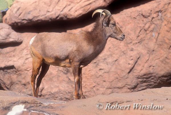 Desert Bighorn Sheep (Ovis canadensis cremnobates) Arizona-Sonora Desert Museum near Tucson, Arizona