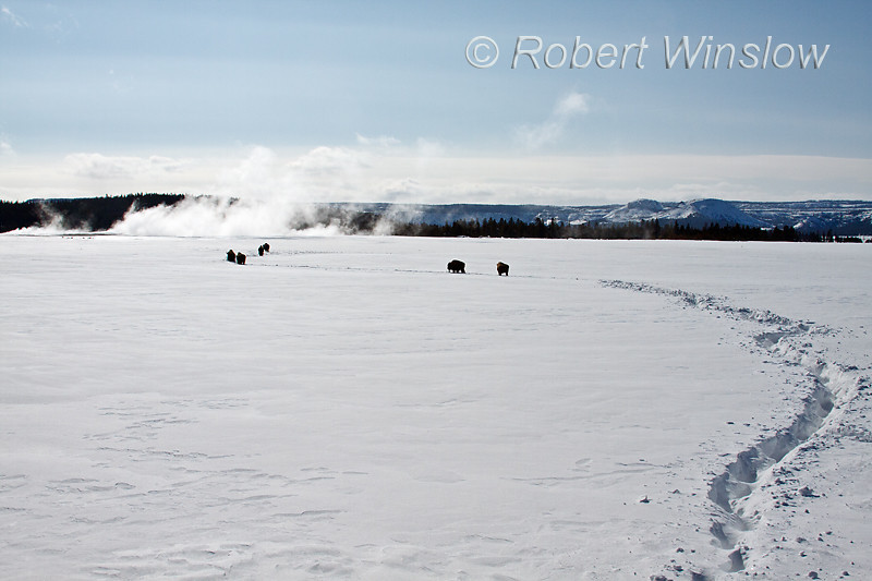 Winter, Bison, Single File through the Deep Snow,  Lower Geyser Basin, Yellowstone National Park, Wyoming, USA, North America