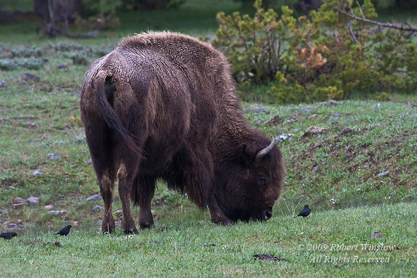 Bison or American Buffalo, Bison bison, and Brown-headed Cowbird, Molothrus ater, Yellowstone National Park, Wyoming, United States, North America