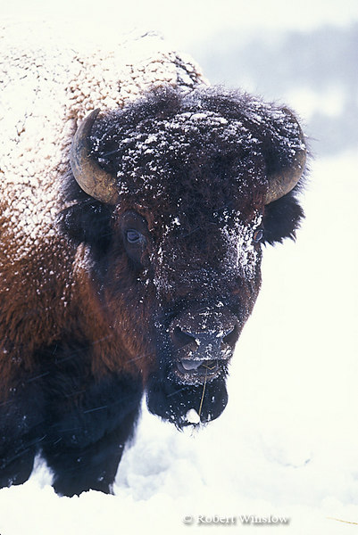 Bison or American Buffalo, Bison bison, Winter, Yellowstone National Park, Wyoming, USA, North American