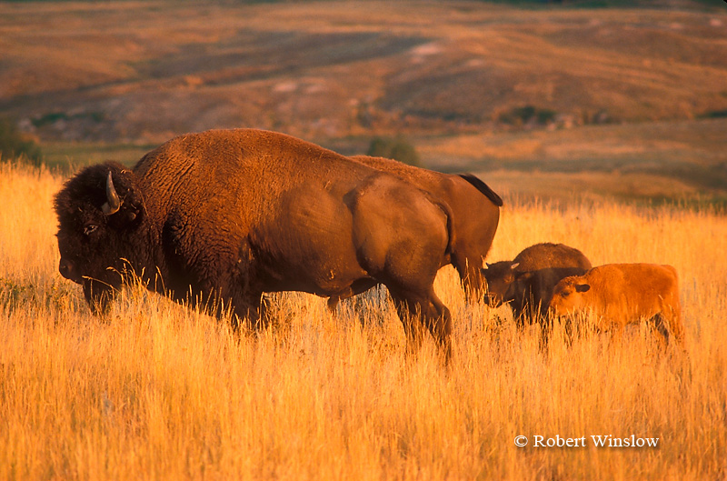 Mother with Calves, Bison or American Buffalo, Bison bison, National Bison Range, Montana, United States, North America