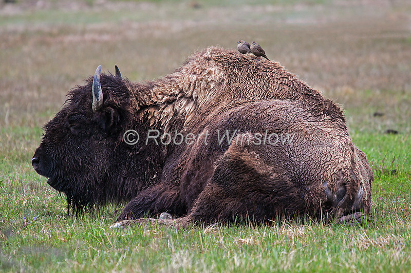 Bison or American Buffalo, Bison bison, Two Female Cowbirds on Back, Yellowstone National Park, Wyoming, United States, North America
