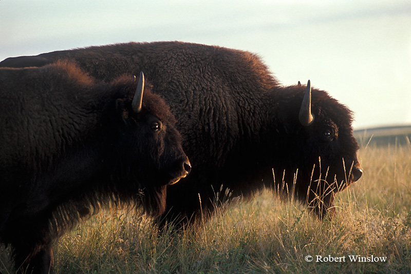 "Two Bison or ""American Buffalo"" Badlands National Park, South Dakota, United States, North America"