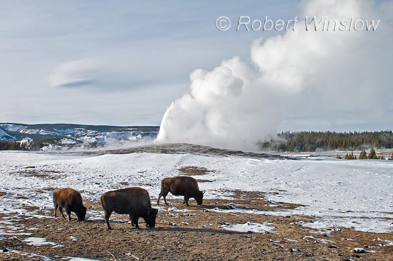 Bison, Old Faithful Geyser, Winter, Yellowstone National Park, Wyoming, USA, North America