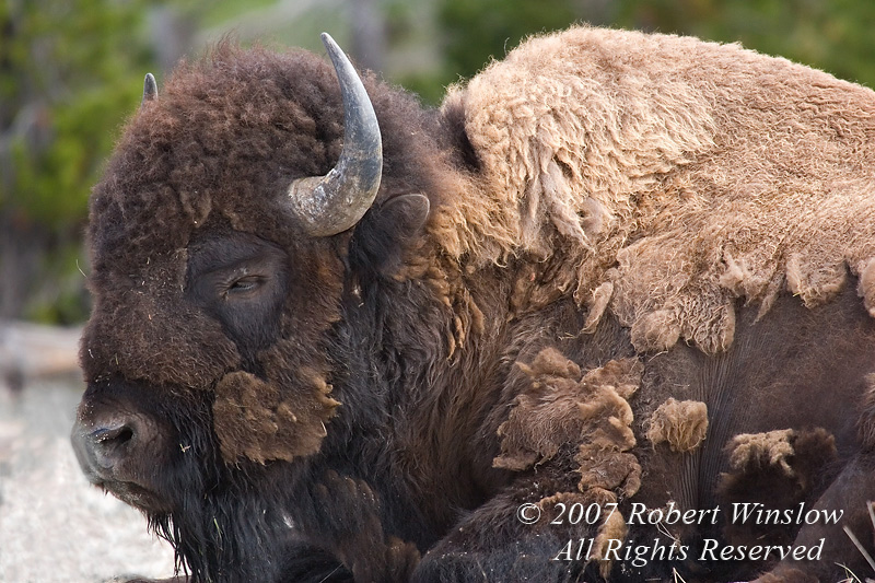 Bison or American Buffalo, Bison bison, Late May, Yellowstone National Park, Wyoming, United States, North America