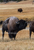 Bison, American Bufflalo, Bison bison, Yellowstone National Park, Wyoming, USA, North America