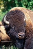 Bison or American Buffalo, Bison bison, National Bison Range, Montana, United States, North America