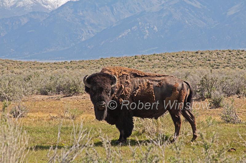 Male Bison, Bison bison, Zapata Ranch, Great Sand Dunes National Park and Preserve in background, San Luis Valley, Colorado, USA, North America