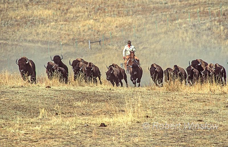 Bison or American Buffalo, Bison bison, Stampede, Round-up, National Bison Range, Montana, USA, North America