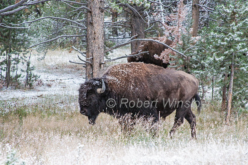 Bison or American Buffalo, Bison bison, Springtime Snow, Yellowstone National Park, Wyoming, United States, North America