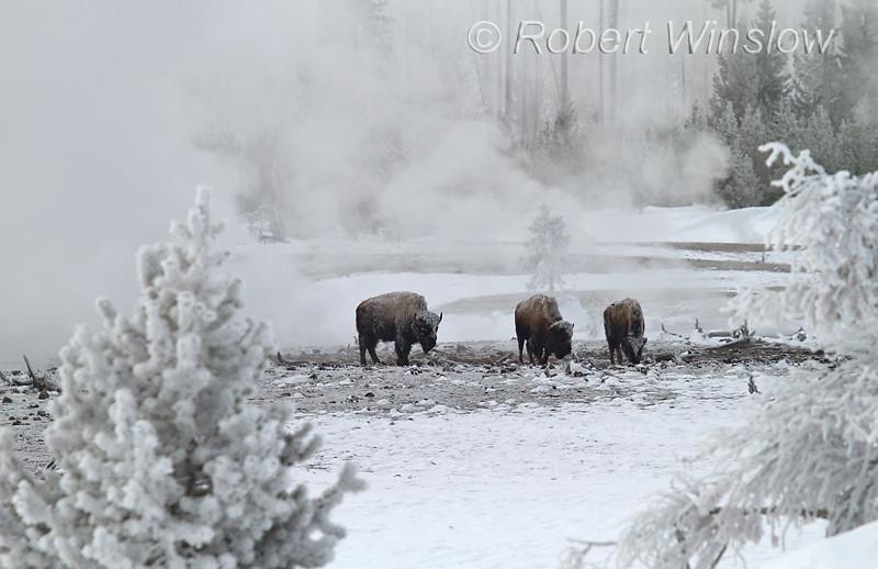 Three Bison, Winter, Biscuit Basin, Yellowstone National Park, Wyoming, USA, North America