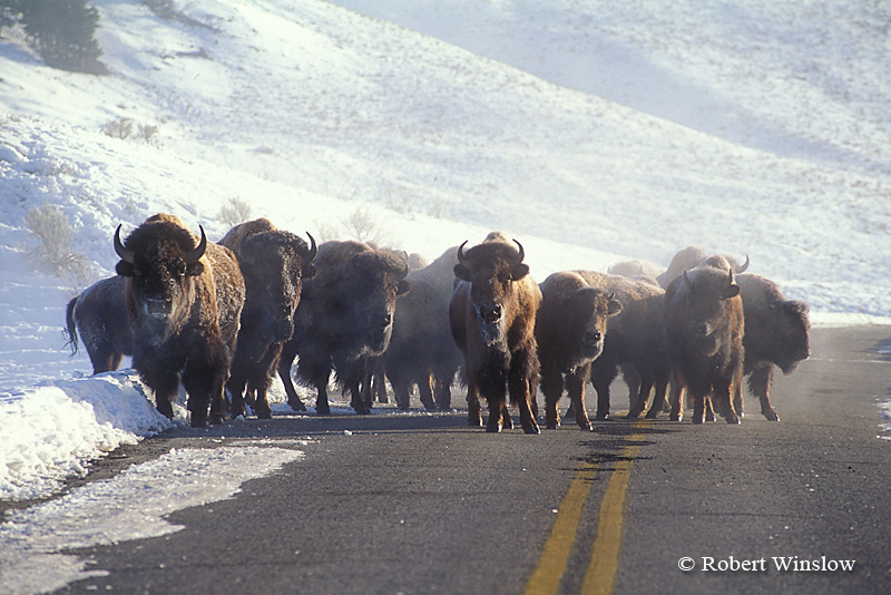 Herd of Bison, American Buffalo, Bison bison, on a Road, Lamar Valley, Yellowstone National Park, Wyoming, USA, North America