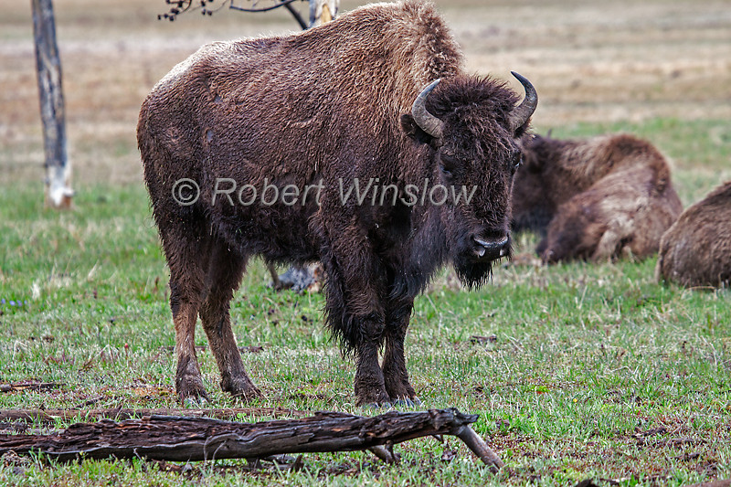 Bison or American Buffalo, Bison bison, Yellowstone National Park, Wyoming, United States, North America