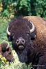 Bison or American Buffalo, Bison bison, National Bison Range, Montana, United States, North America