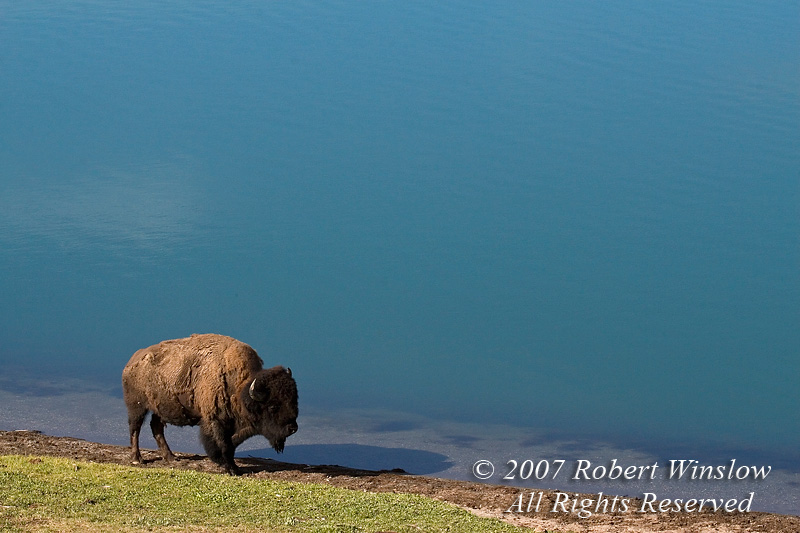 Bison or American Buffalo, Bison bison, Indian Lake, Yellowstone National Park, Wyoming, United States, North America