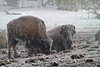 Winter, Bison, Upper Geyser Basin, Yellowstone National Park, Wyoming, USA, North America