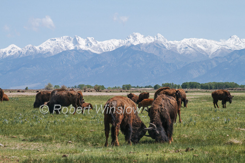 Male Bison sparring, Bison bison, Zapata Ranch, Great Sand Dunes National Park and Preserve in background, San Luis Valley, Colorado, USA, North America