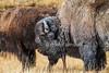 Bison, American Bufflalo, Bison bison, Yellowstone National Park, Wyoming, USA, North America