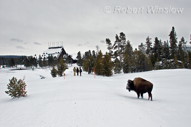 Winter, Bison, Old Faithful Inn,  Yellowstone National Park, Wyoming, USA, North America