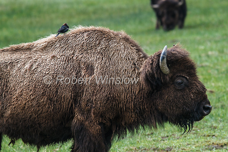 Bison or American Buffalo, Bison bison, Cowbird on its back, Yellowstone National Park, Wyoming, United States, North America