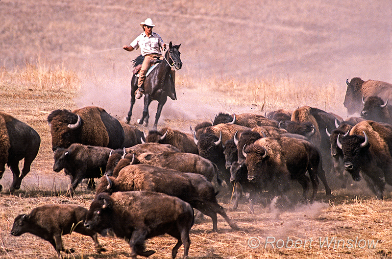 Bison or American Buffalo, Bison bison, Stampede, Round-up, National Bison Range, Montana, USA, North America
