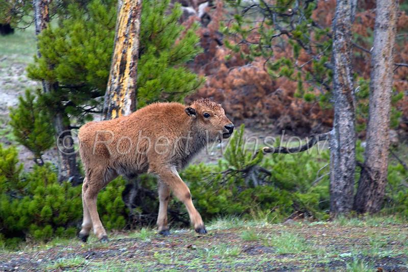 Bison Baby 0210W8WM