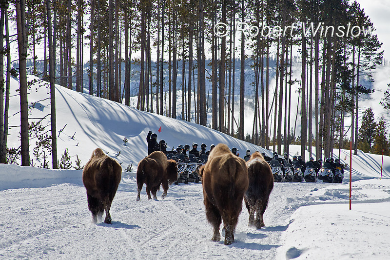 Snowmobilers pull off to the side to let Bison pass, Winter, Yellowstone National Park, Wyoming, USA, North America