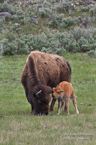 Mother with Calves, Bison or American Buffalo, Bison bison, Yellowstone National Park, Wyoming, United States, North America