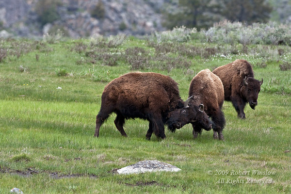 Two Bison or American Buffalo Sparring, Bison bison, Yellowstone National Park, Wyoming, United States, North America