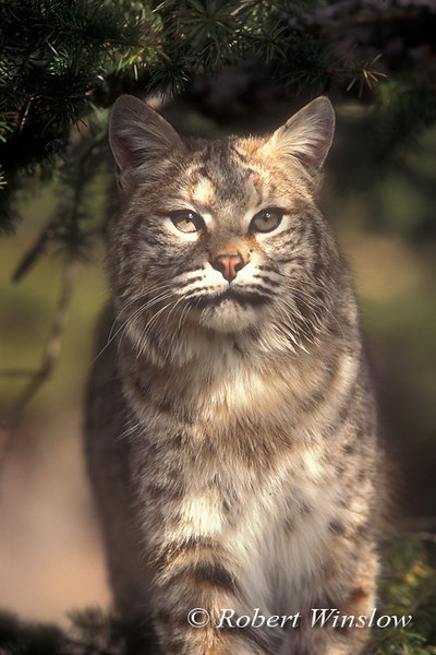 Bobcat, Lynx rufus, Controlled Conditions