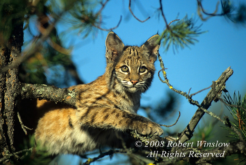 Bobcat Kitten, Lynx rufus, Controlled Conditions