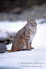 Bobcat, Lynx rufus, Winter, Snow, Controlled Conditions