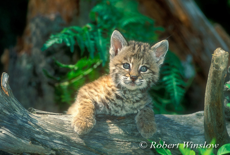 Young Bobcat (Lynx rufus) Kitten, Controlled Conditions