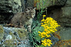 Bobcat Kitten, Lynx rufus, Controlled Conditions