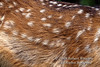 Detail of fur on a Mule Deer Fawn, Odocoileus hemionus, Montana, USA, North America