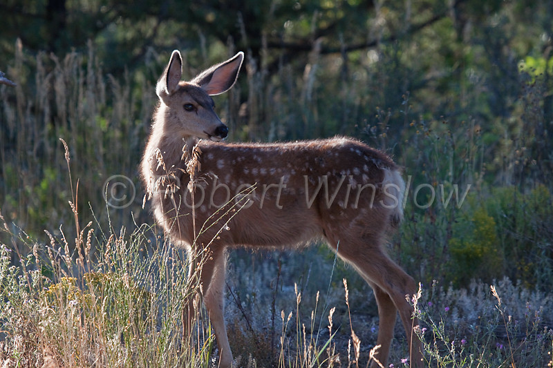 Mule Deer Fawn, Odocoileus hemionus, amid Wildflowers, La Plata County, Colorado,  USA, North America