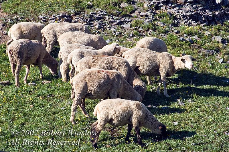 Sheep Grazing above Timberline, Porphry Basin, San Juan National Forest, Colorado, USA