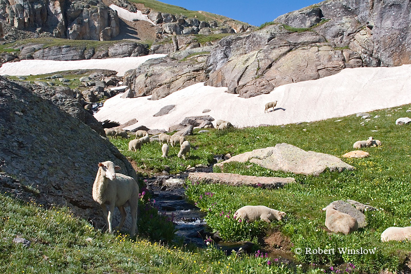 Sheep Grazing above Timberline, Porphry Basin, San Juan National Forest, Colorado, USA