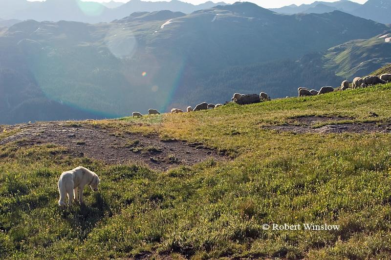 Sheep Dog, Sheep Grazing above Timberline, Porphry Basin, San Juan National Forest, Colorado, USA