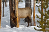 Elk, Eating Bark on Lodgepole Pine, Winter, Yellowstone National Park, Wyoming, USA, North America