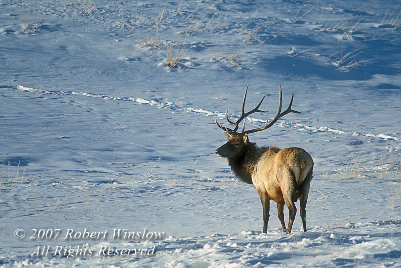Bull Elk, Winter, Snow